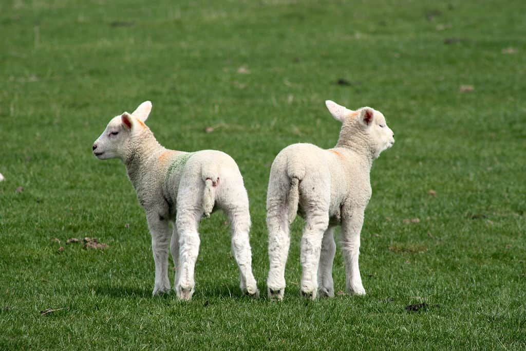 1024px-Two_lambs_rubber_ring_tail_docking