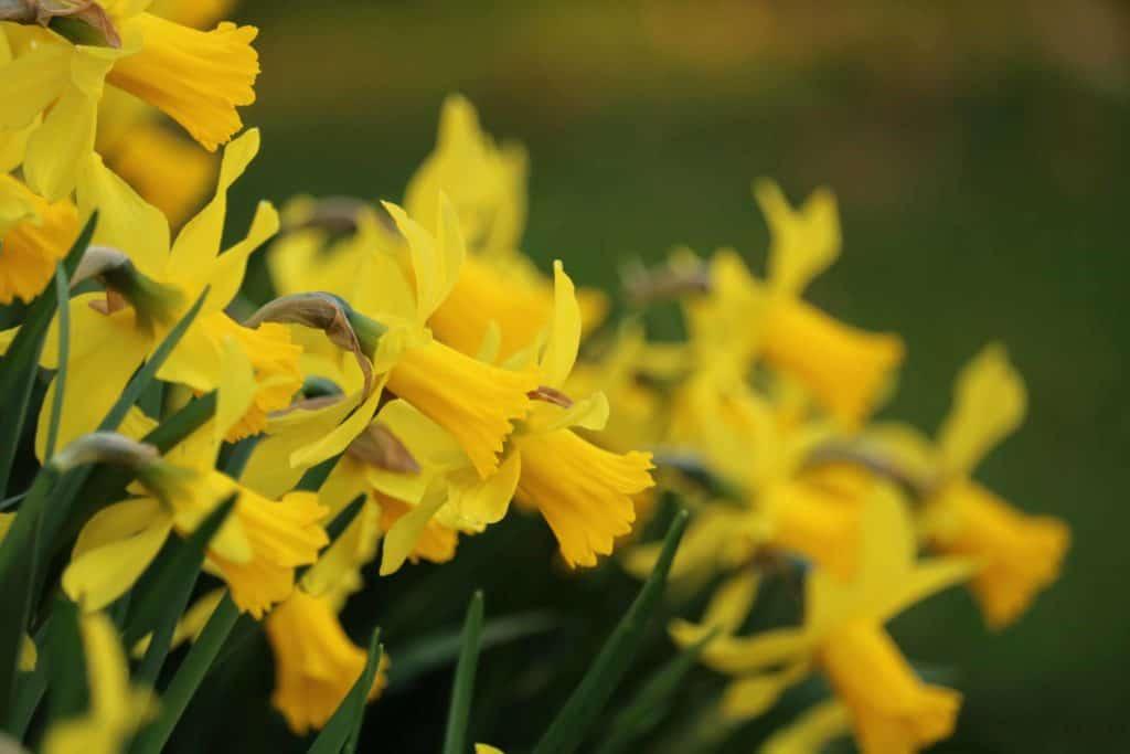 daffodil-daffodils-garden-yellow-green-flowers-1435623-pxhere.com_