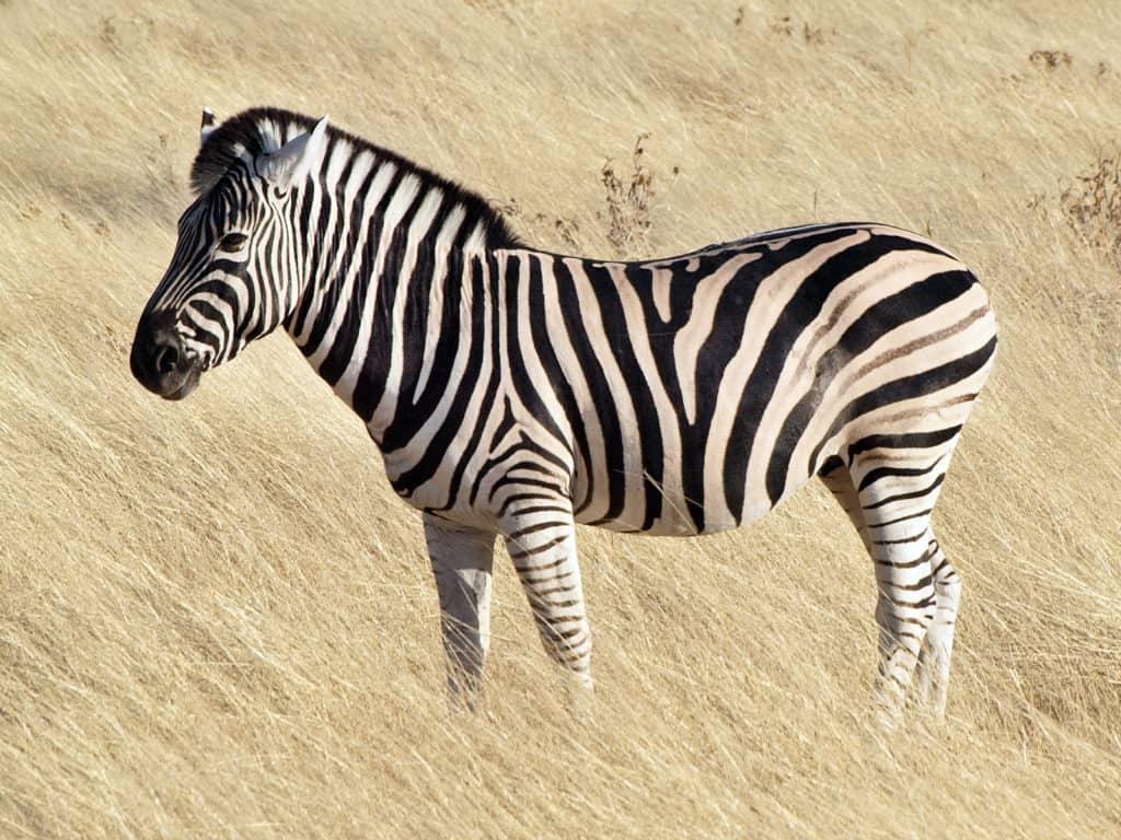 Common_zebra_1