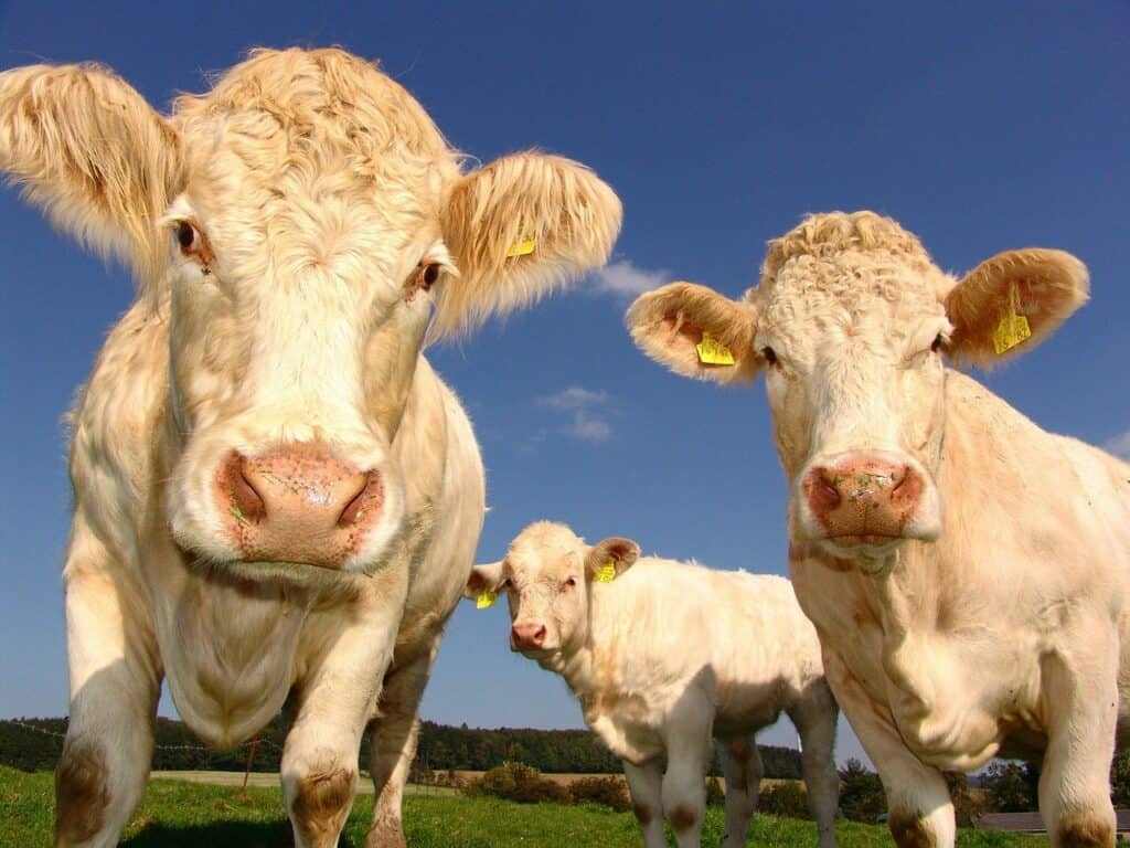 cows-g618dcf717_1280
