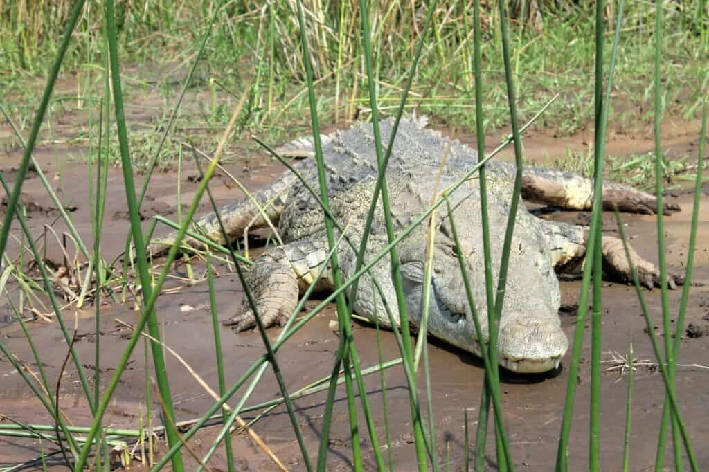 crocodile-1006774_1280