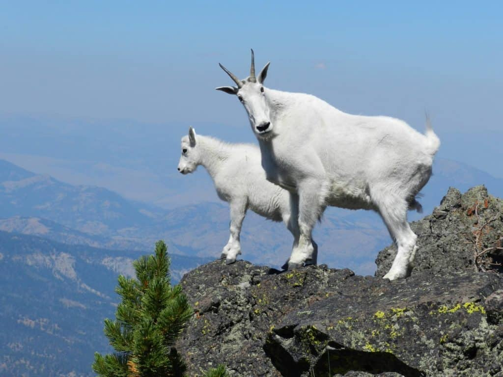 mountain-goats-at-the-top