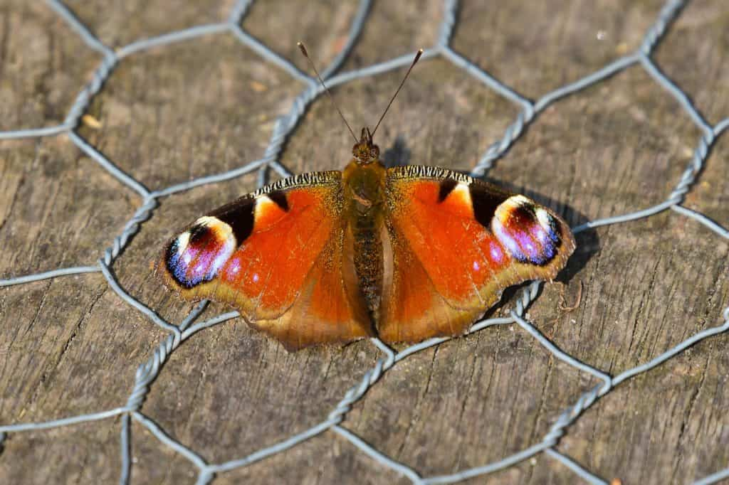peacock-butterfly-4231014_1280